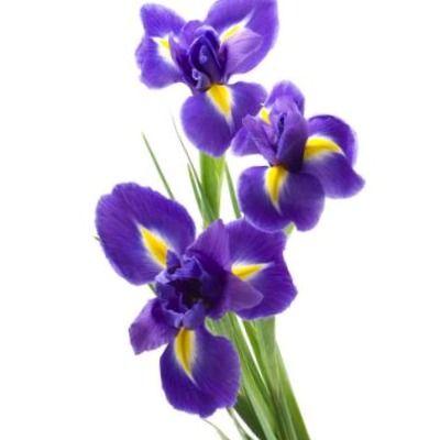perfumes hechos con Iris