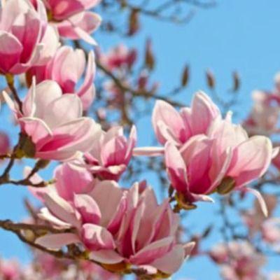 perfumes hechos con Magnolia