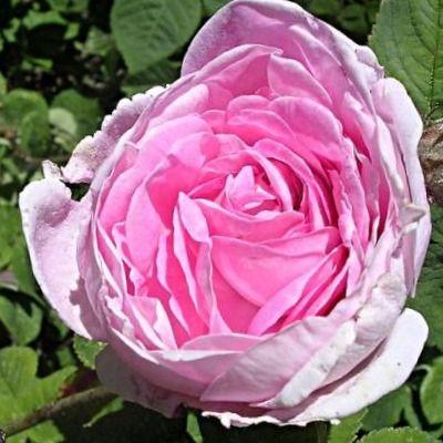 perfumes hechos con Rosa
